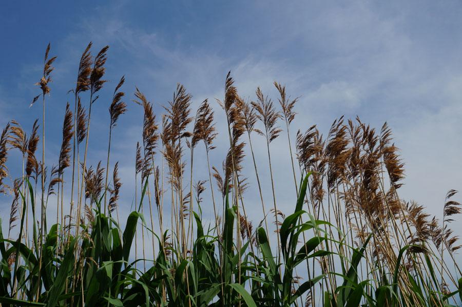 Schwarzer See Seegrass